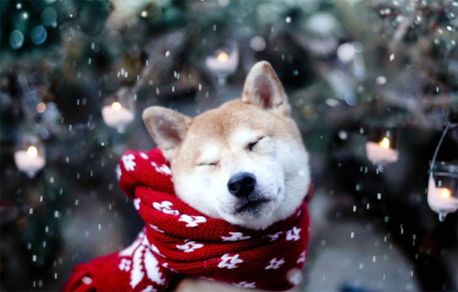 akita-inu-with-a-scarf