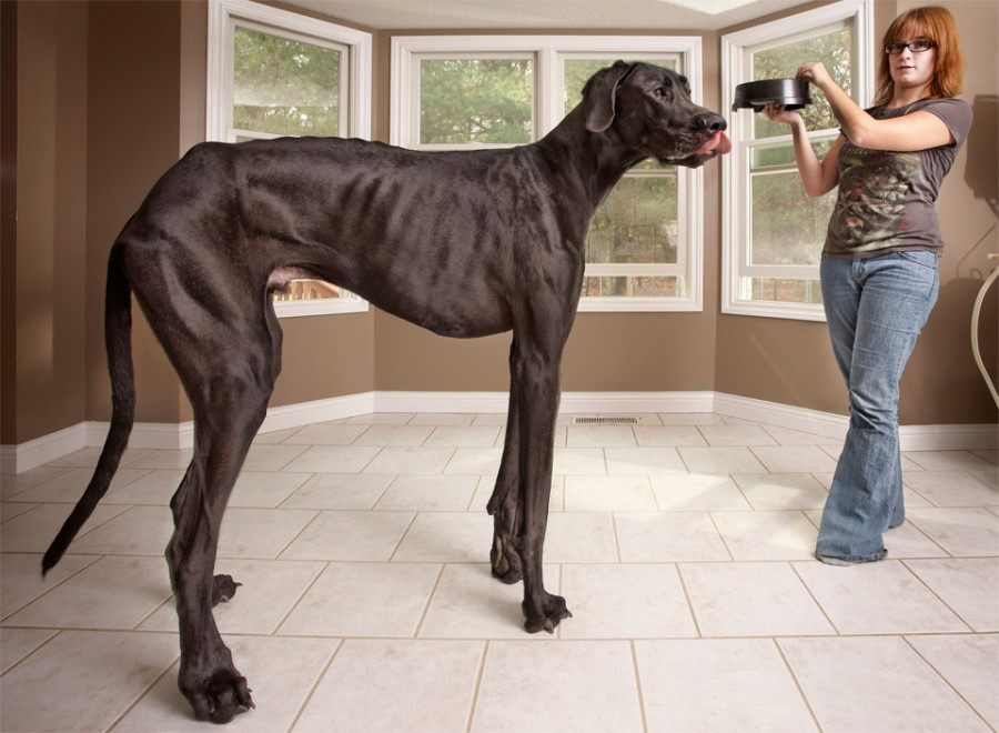 tallest-dog-in-the-world-great-dane-zeus
