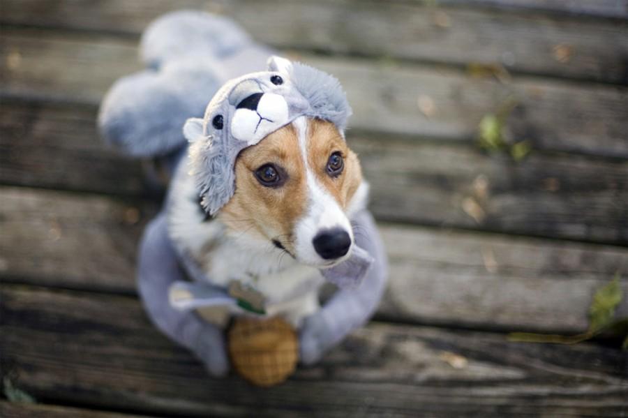 corgi-in-squirrel-costume