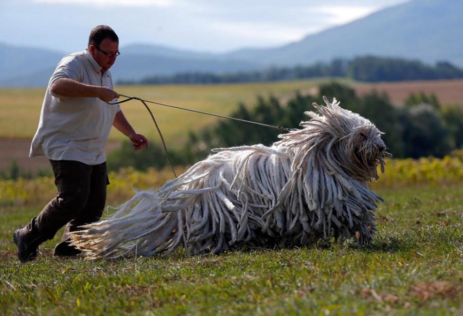 komondors-a-traditional-hungarian-guard-dog