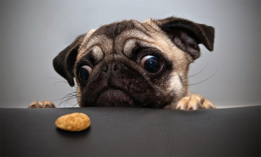 pug-wants-cookie