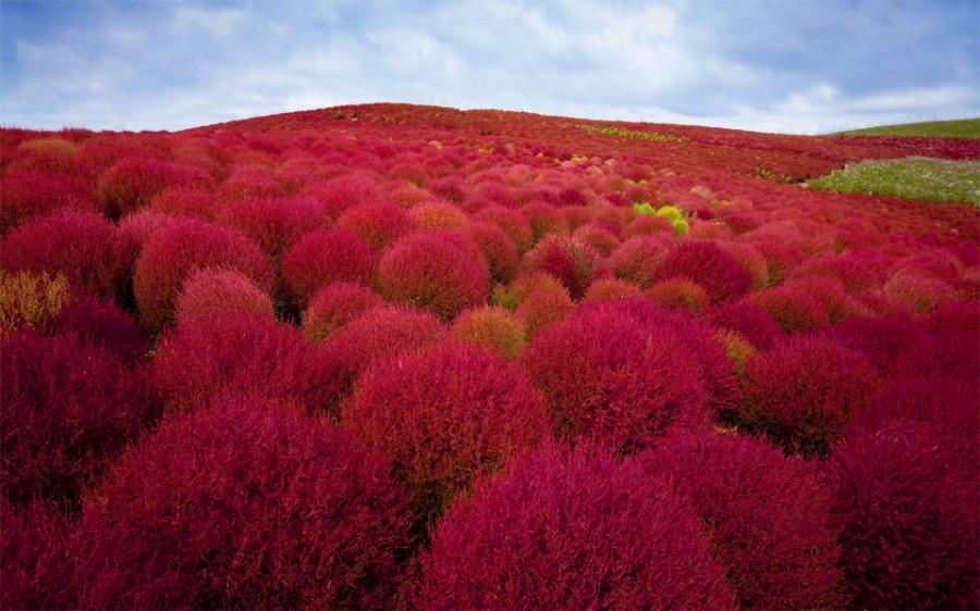 burning-bush-plants-park-japan 1