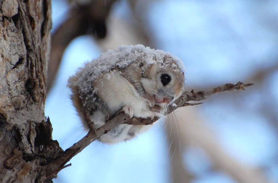 cute-japanese-dwarf-flying-squirrel 12