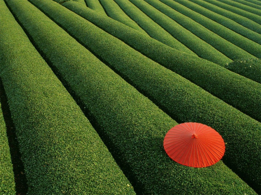 japanese-tea-field 7