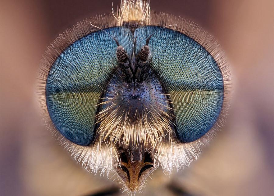 fly-head