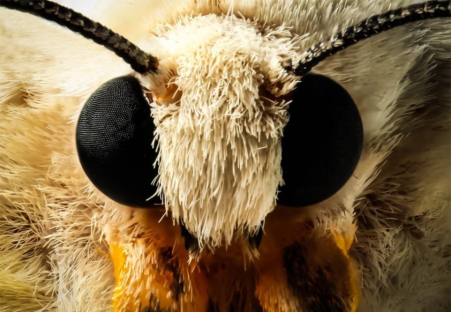 moth-face