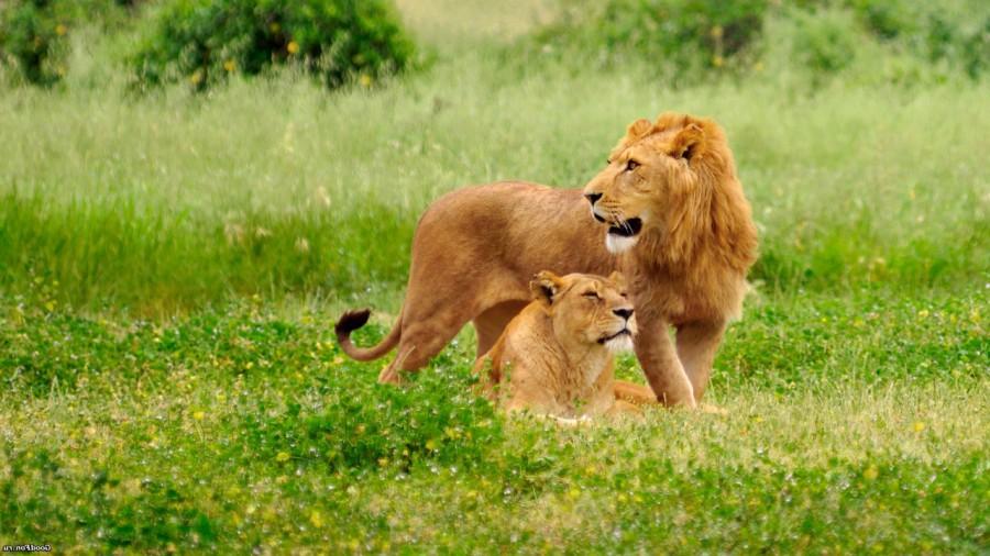 lion_love_00
