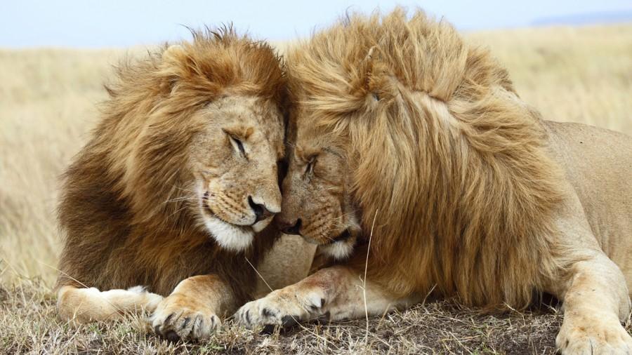 lion_love_01