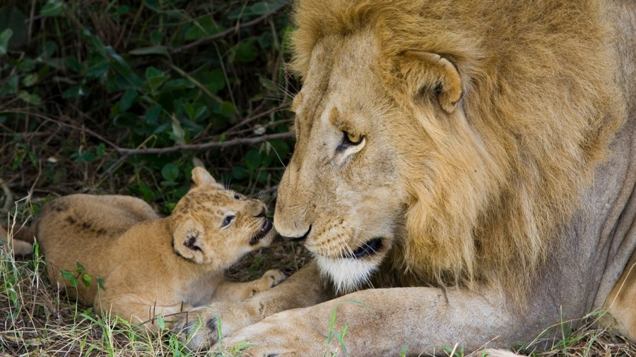 lion_love_02
