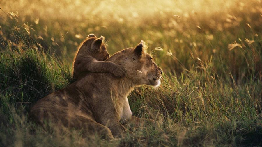 lion_love_03