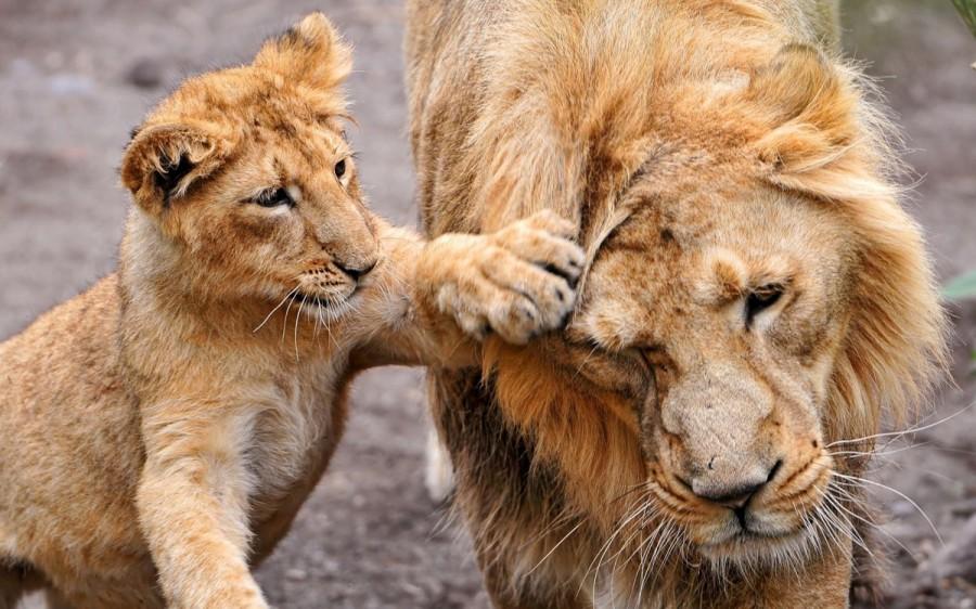 lion_love_04