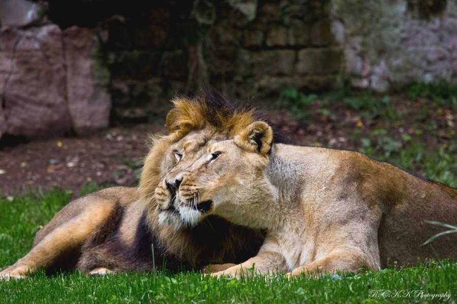 lion_love_07
