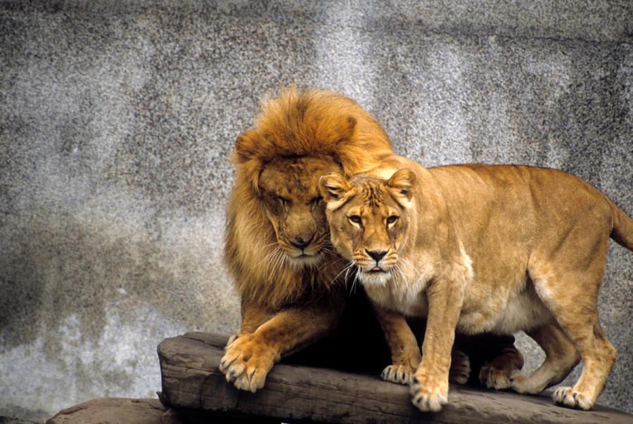 lion_love_07a
