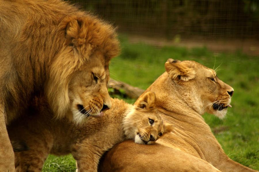 lion_love_08