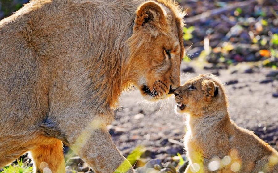 lion_love_08a
