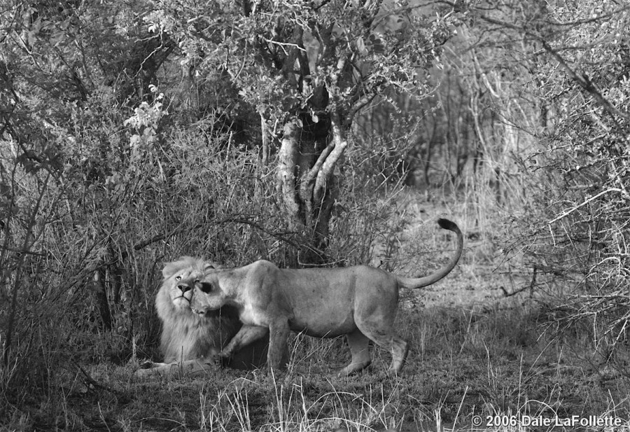 lion_love_10