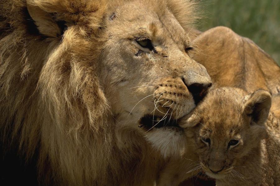 lion_love_11a
