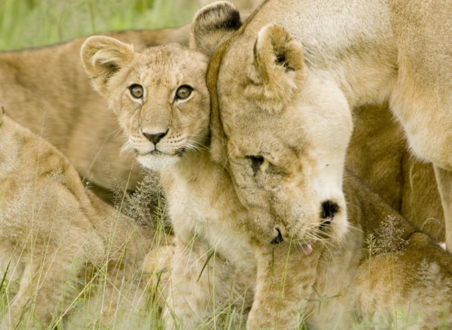 lion_love_11b