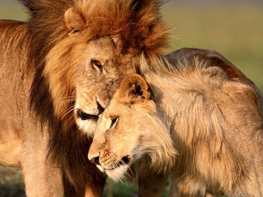 lion_love_12