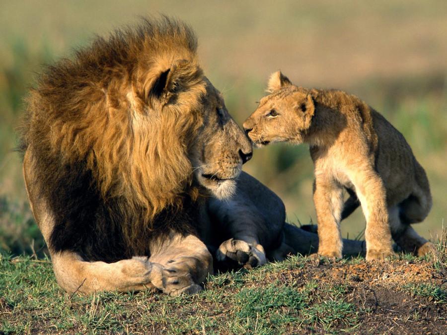 lion_love_14