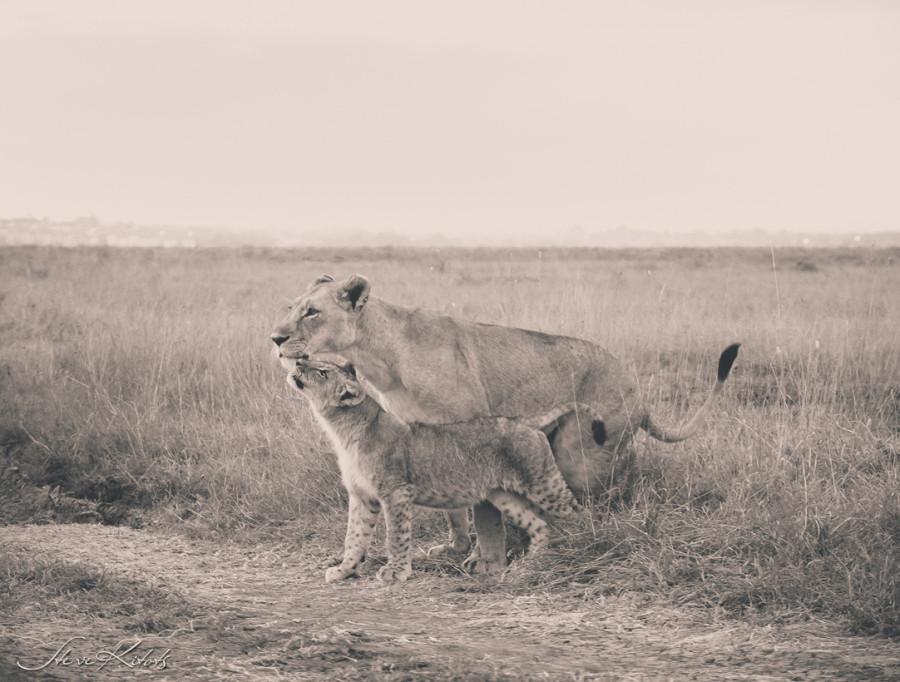 lion_love_16