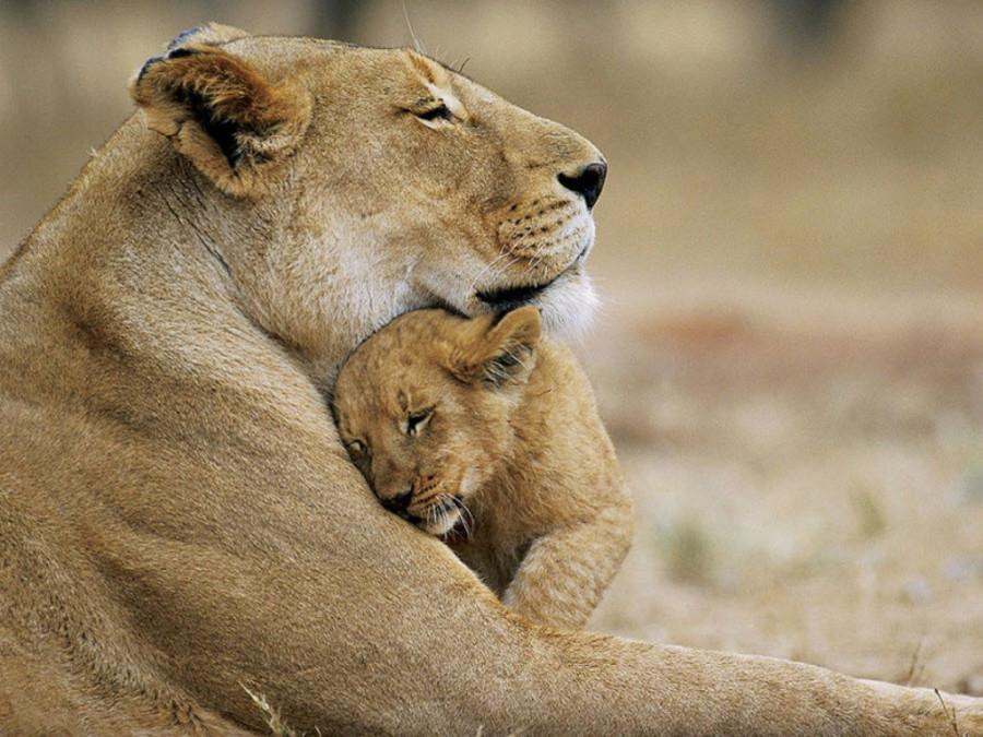 lion_love_18