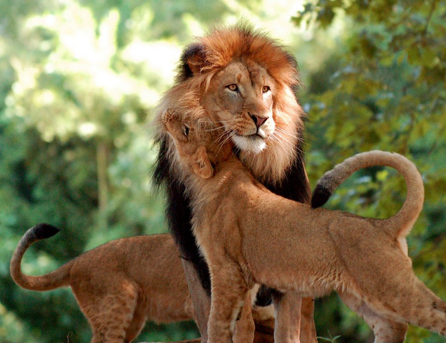 lion_love_19