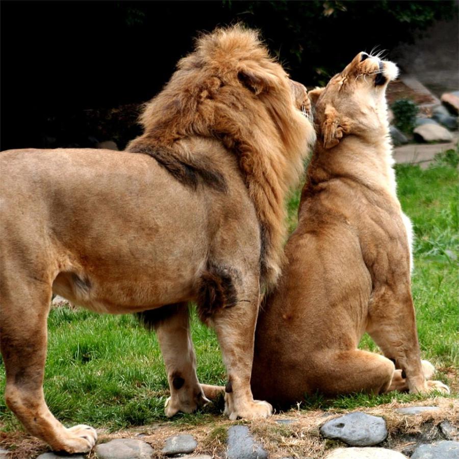 lion_love_21