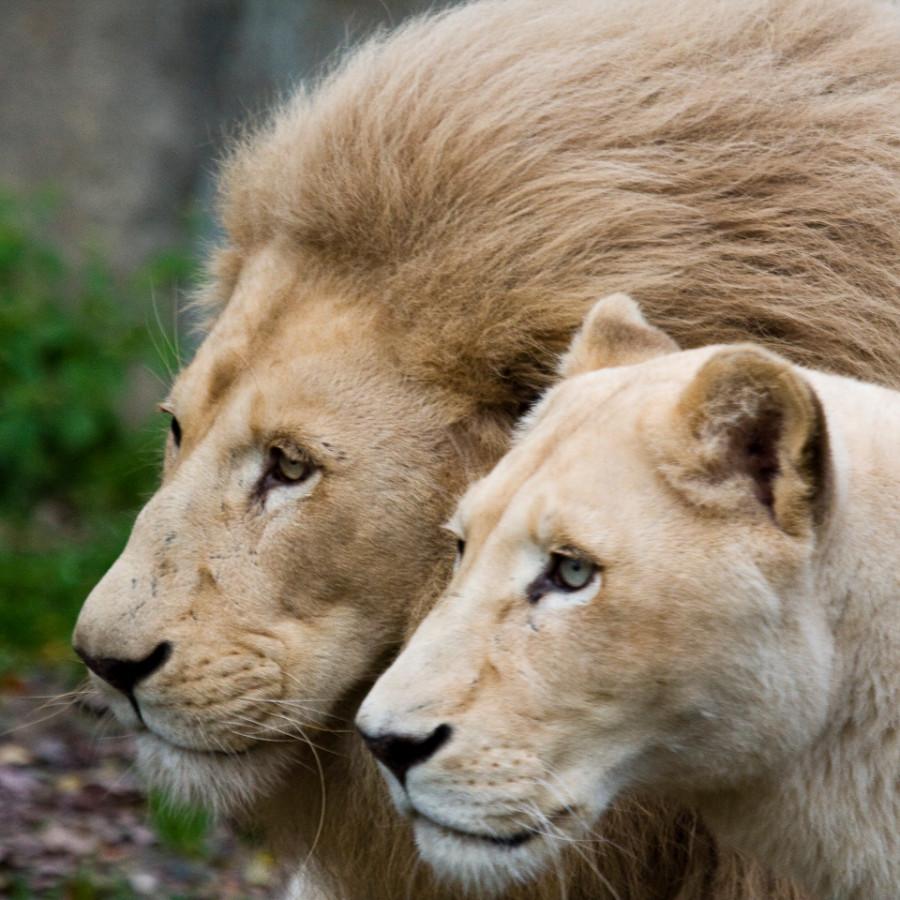 lion_love_22