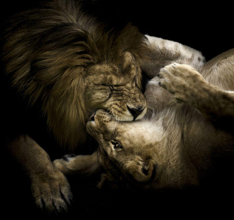 lion_love_24
