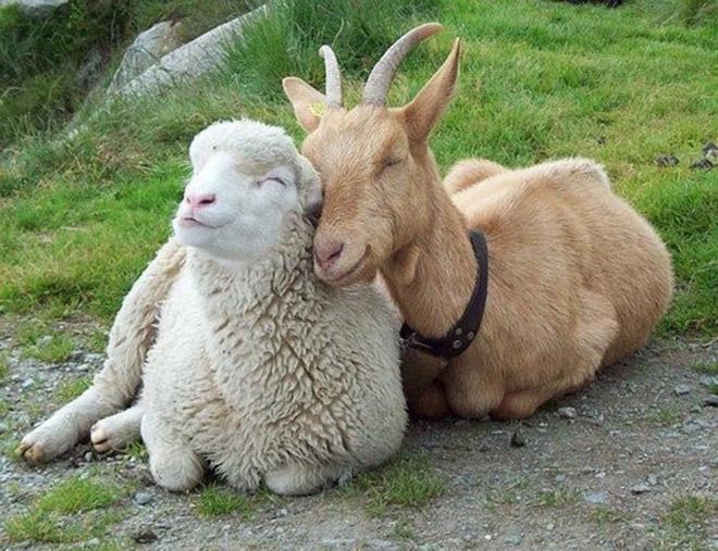 козел овца