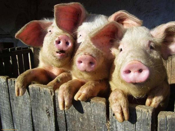 Three-pet-Piglets-21