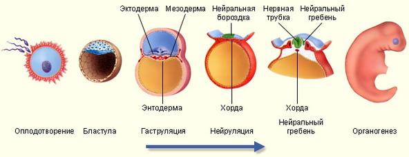 Все клетки растущего организма