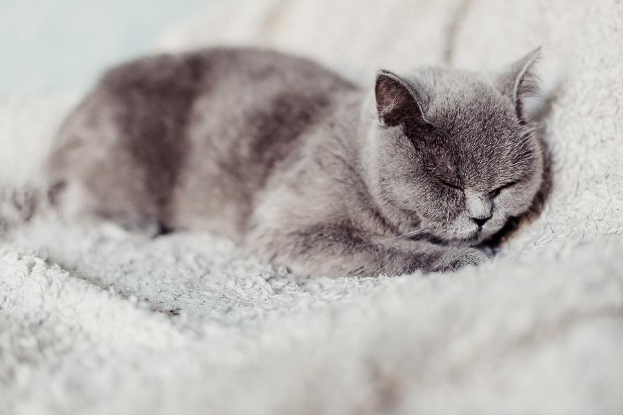 british cat by irella lisitsyna photographer