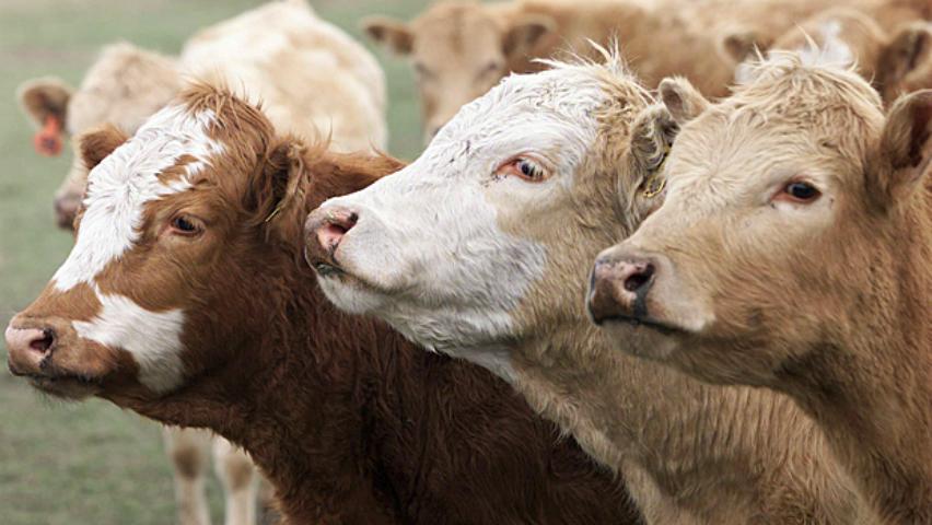 hi-cows-cargill