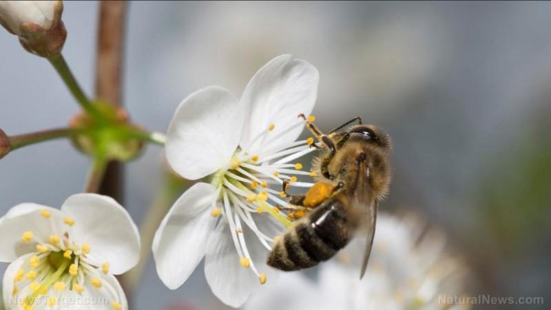 Пчелы опыление
