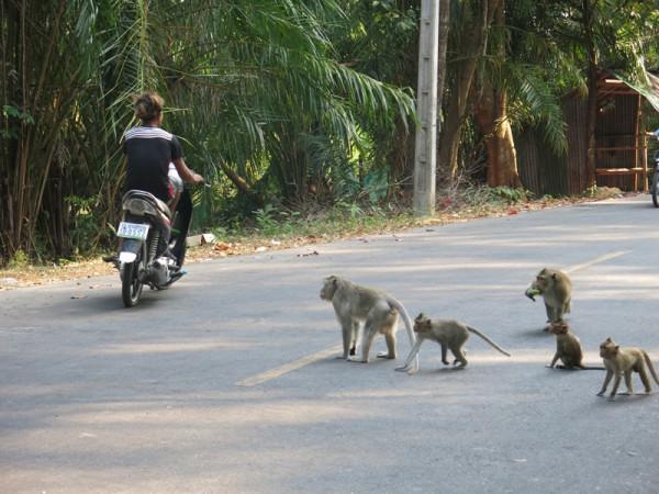 жж обезьяны идут через дорогу