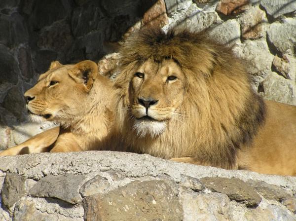 Львы крупно