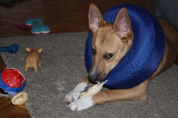 Чарли после операции