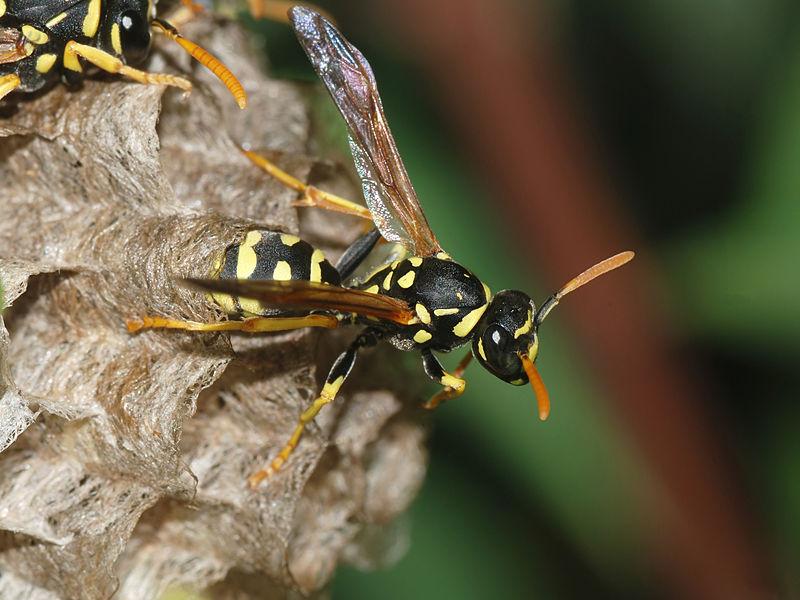 800px-Wasp_May_2008-11