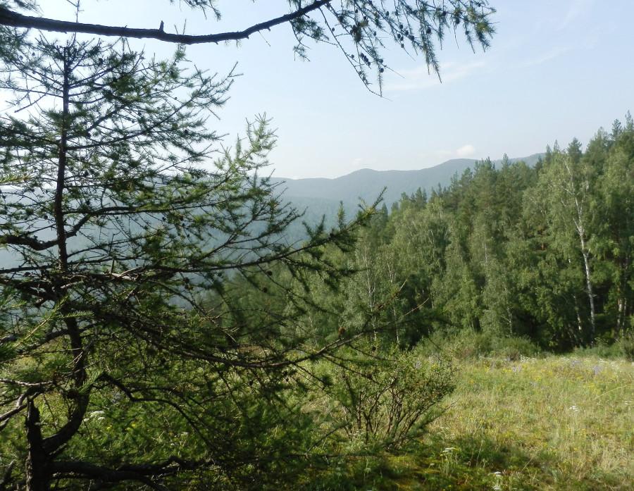Лиственница на фоне гор