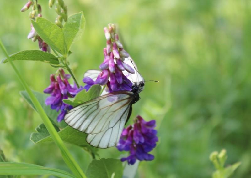 Один миг из жизни бабочек