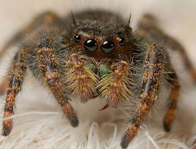 глаза-паука