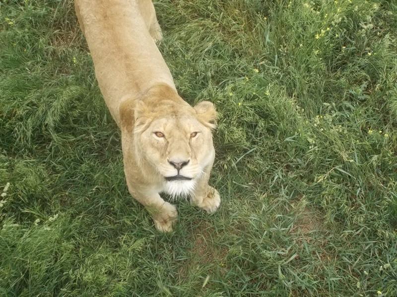 львица ждет мяса