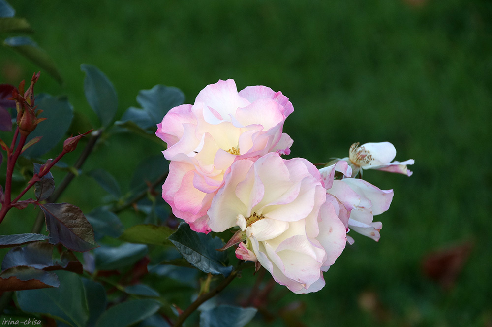 Розы Нижнего парка