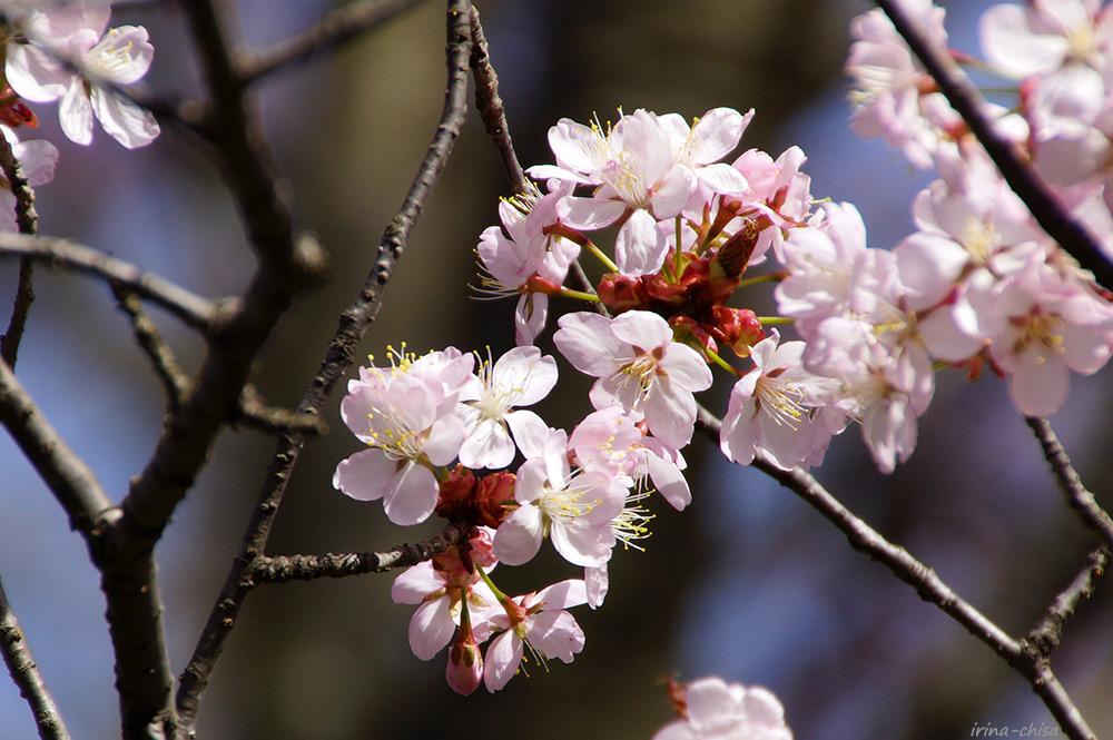 БСВл Сакура (Вишня сахалинская, Cerasus sachalinensis)