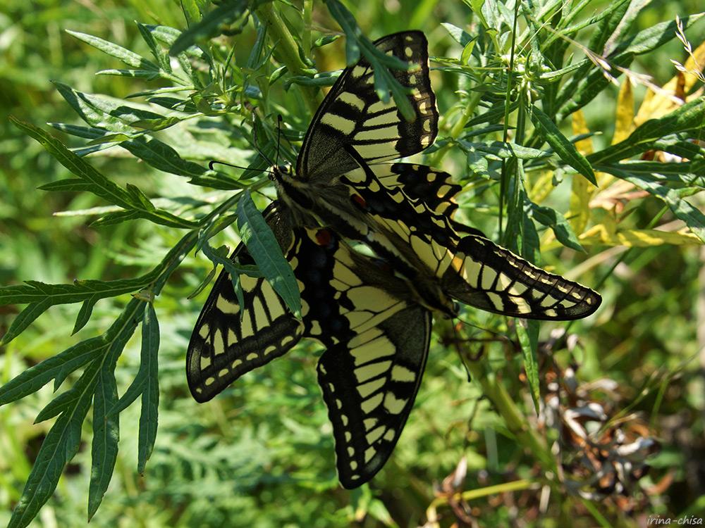 Махаон Papilio machaon