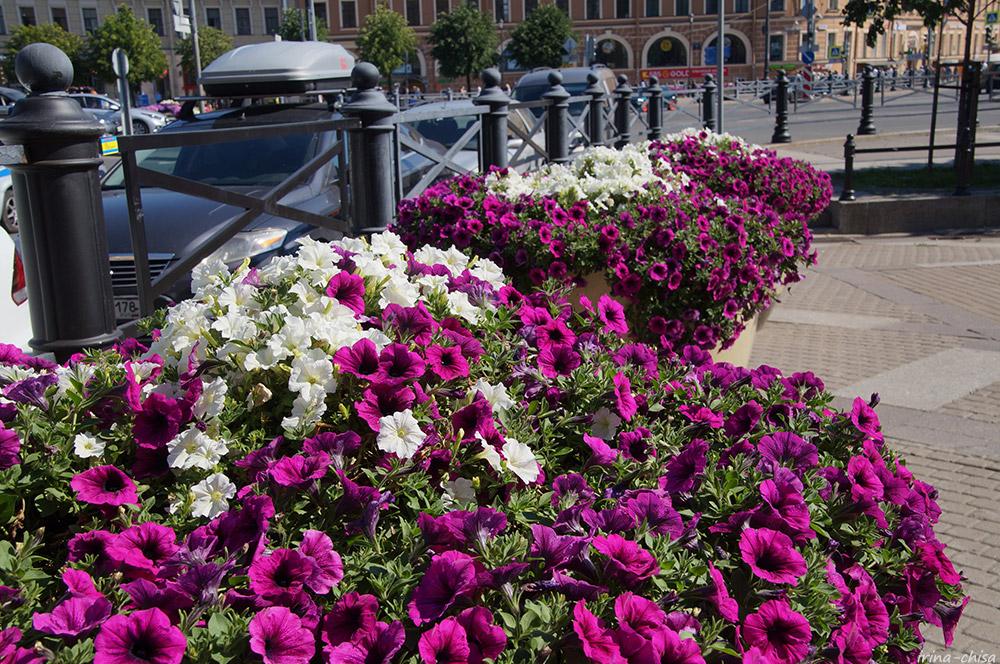 Цветы Питера