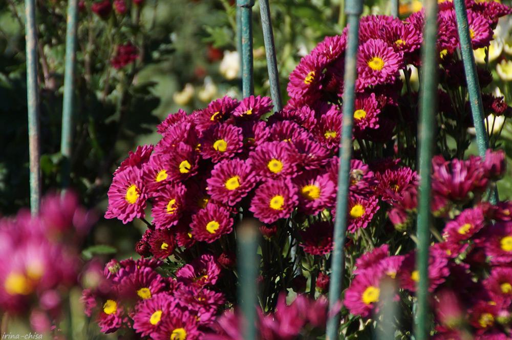 Bacardi  Lilac