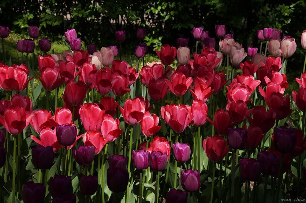Фестиваль тюльпанов 2019